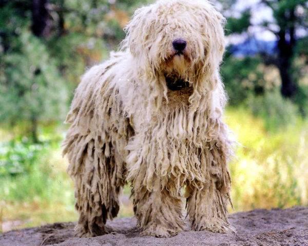 Komondor Foto Des Hundes Preis Beschreibung Der Rasse Charakter