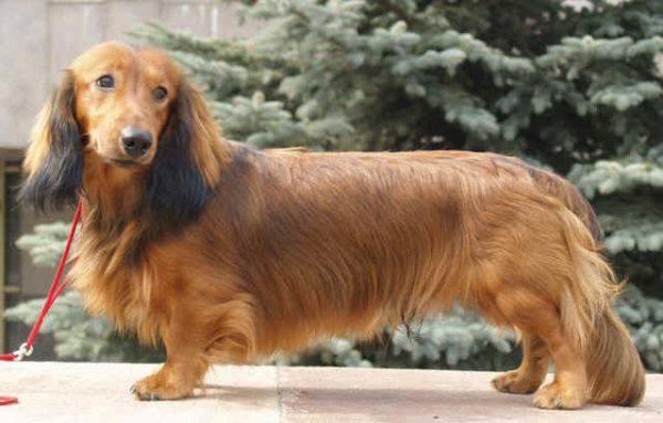 langhaariger tibetischer schosshund