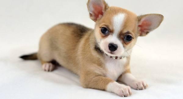 Kurzhaarige Hunde Eine Liste Von Rassen Mit Fotos
