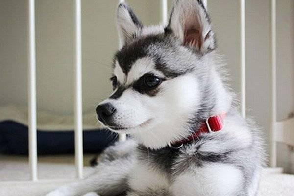 Alaskan Kli Kai Mini Husky Foto Des Hundes Preis Beschreibung