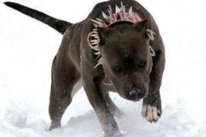 Pitbull im Winter