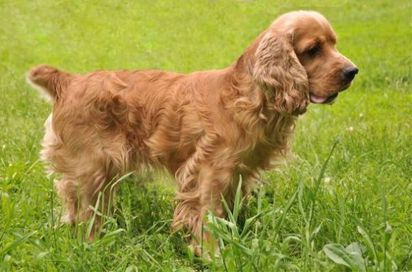 Englisch Cocker Spaniel Hund Foto Preis Rasse Beschreibung